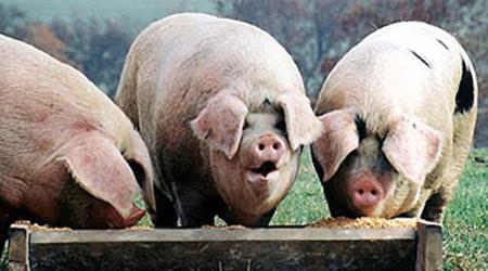 pig-at-trough.jpg